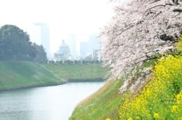【桜・見頃】千鳥ケ淵公園