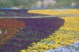 世羅ゆり園 春の花まつり