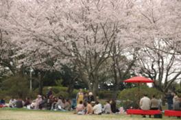 第33回水郷潮来桜まつり