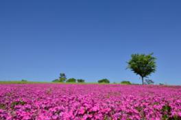 【桜・見頃】Flower Village 花夢の里