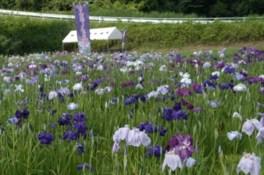 青山花しょうぶ園 開園