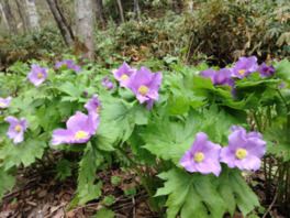シラネアオイと春の野の花まつり