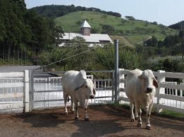 白牛は酪農のさとのシンボル