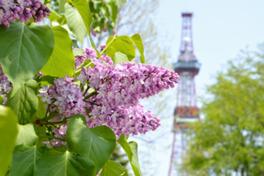札幌の初夏を告げるライラックをめでる催し