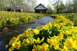 園内の小川沿いに咲くエゾリュウキンカは春が見ごろ