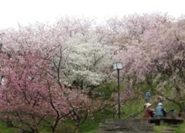 日本国花苑さくらまつり