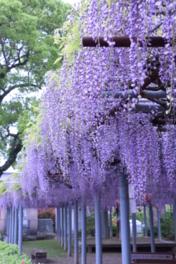 真木の大藤