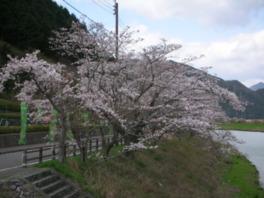 【桜・見頃】であい公園