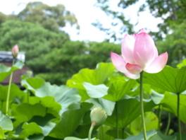 2017年夏の花見「妙心寺退蔵院 蓮見の会」
