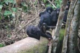 キュレーターズガイド「アフリカ・コンゴの森の動物たち」
