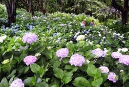 【あじさい・見ごろ】水道山・観音山公園
