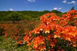 【花・見ごろ】赤城山 レンゲツツジ&新緑