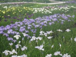 第24回 曽根城公園花しょうぶ祭