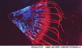 驚異の発光物体、クロカムリクラゲ