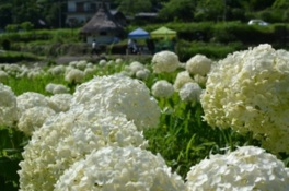 【あじさい・見ごろ】ツーギー谷のお花畑 あじさいのアナベル