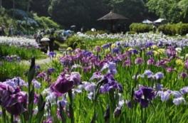 【花・見ごろ】岐阜県百年公園の菖蒲