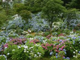 舞鶴自然文化園アジサイまつり