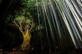 全国巨木第7位「武雄の大楠」のライトアップ