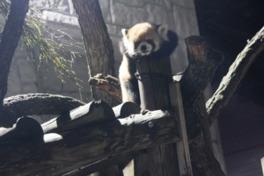 不動の人気を誇るレッサーパンダ