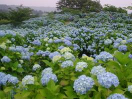 【あじさい・見ごろ】翠雲公園