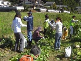 丹波黒枝豆狩りとサツマイモの収穫体験 2017