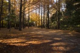 30mもの高い木々が立ち並ぶメタセコイア林