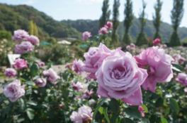 """""""シャルル・ドゥ・ゴール""""をはじめ様々なバラが堪能できる"""