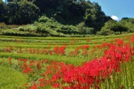 棚田の畔に沿って真っ赤に咲き誇る彼岸花
