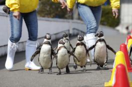 夜のペンギンたちの散歩は昼とはどう違うのか
