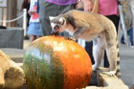パンプキンの上に乗って遊んだり、噛んだり引っかいたりして楽しむ生きものたちを間近で見られる