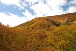 山肌を染めるカラマツの黄葉