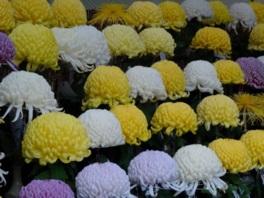 大輪の花を咲かせる約1300点の菊花作品が並ぶ