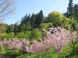 【桜・見ごろ】高照山桜の里