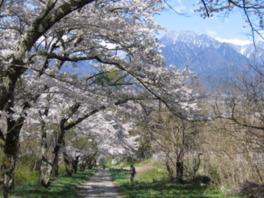 【桜・見ごろ】鵜山の桜並木
