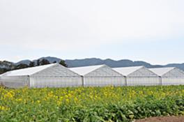 菜の花畑を眺めながらイチゴ狩りを満喫