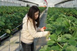 清潔で安全なイチゴの育成をしている