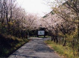 【桜・見頃】遠見山