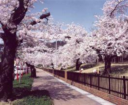 【桜・見頃】東沢公園