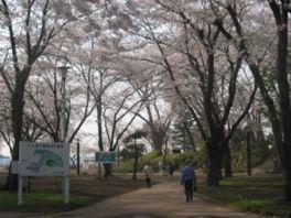 【桜・見頃】三八城公園
