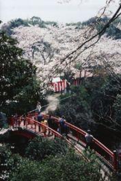 【桜・見頃】大井関公園