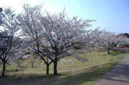 【桜・見頃】鏡山