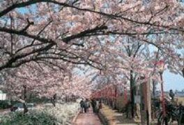 【桜・見頃】信濃川やすらぎ堤緑地