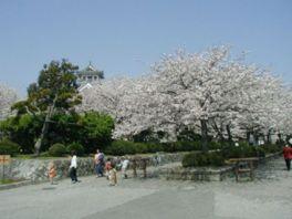 【桜・見頃】豊公園(長浜城)