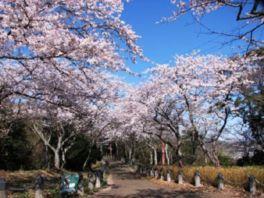 【桜・見頃】衣笠山公園