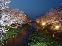【桜・見頃】玉湯川堤
