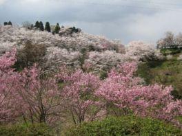 【桜・見頃】城ケ山公園