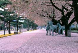 【桜・見頃】十和田市官庁街通り(駒街道)