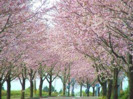 【桜・見頃】垂水公園