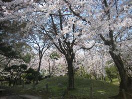 【桜・見頃】水前寺成趣園