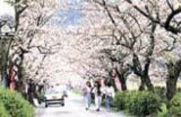 【桜・見頃】秋月杉の馬場通り